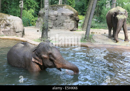 Arnhem, The Netherlands. 1st Aug, 2014. A special day for the two elephants of Burgers' Zoo in the Dutch city Arnhem - Stock Photo