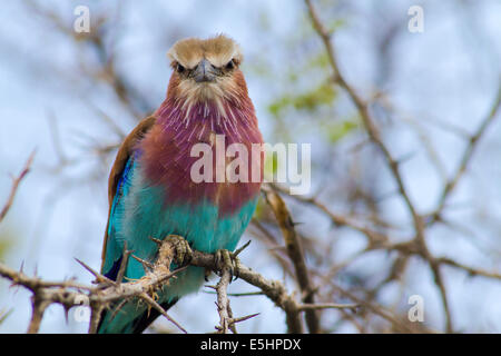 Lilac breasted roller on a branch, Namibia, Africa - Stock Photo