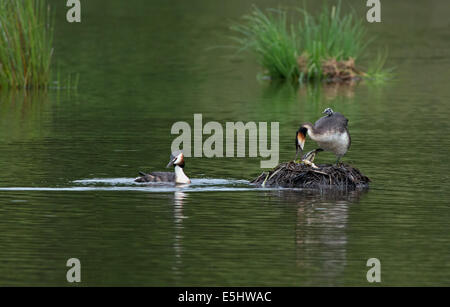 Female Great Crested Grebe removes egg shell from nest with newly hatched chick on back whilst Male swims near. - Stock Photo