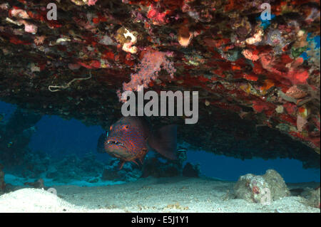 Roving coralgrouper in the Red Sea off Sudan coast - Stock Photo