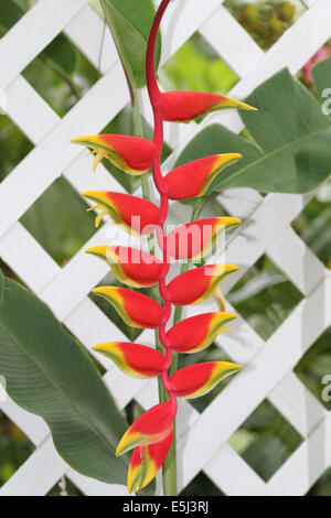 Red and yellow False Bird of Paradise on a white lattice fence in Antigua Barbuda Lesser Antilles, West Indies, - Stock Photo