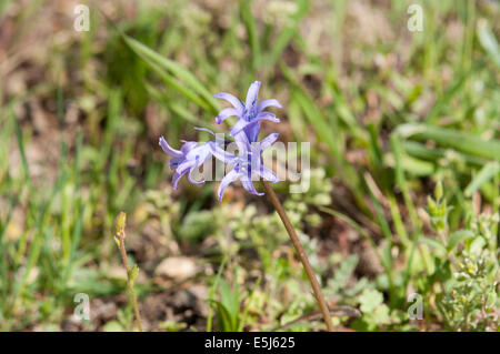 Flowers of Spanish bluebell, Hyacinthoides hispanica. It is a spring-flowering bulbous perennial native to the Iberian - Stock Photo
