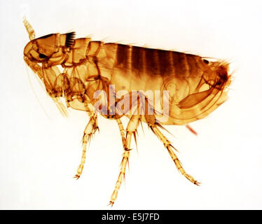 This photograph depicts an adult male Oropsylla Montana flea, formerly known as Diamanus Montana. Plague (Bubonic, - Stock Photo