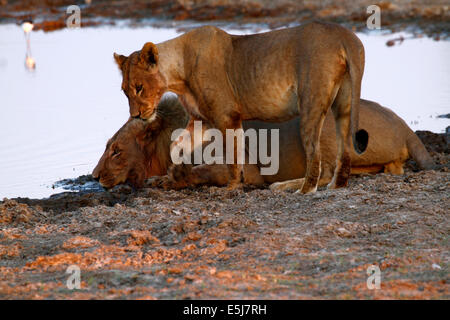 A pride of lions in Botswana, South Africa drinking - Stock Photo