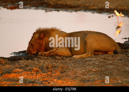 A pride of lions in Botswana, South Africa, big male lion drinking from the water hole - Stock Photo