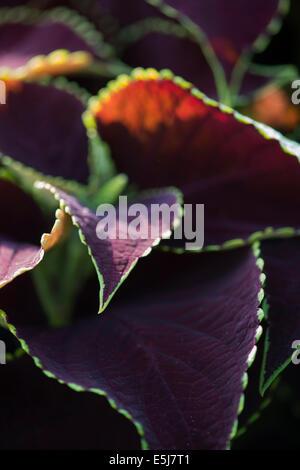 Solenostemon scutellarioides. Coleus Blumei Chocolate Mint - Stock Photo