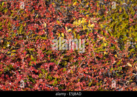 Betula nana, dwarf birch in Greenland in autumn with red leaves - Stock Photo