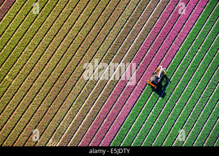 Netherlands, Burgervlotbrug, Tulip fields, Farmer topping tulips. Aerial - Stock Photo
