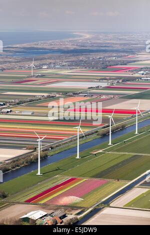 Netherlands, Burgervlotbrug, Tulip fields and windmills, Aerial - Stock Photo