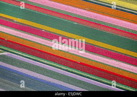 Netherlands, Burgervlotbrug, Tulip fields. Aerial - Stock Photo