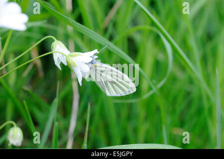Green-veined White Butterfly with head in a flower - Stock Photo