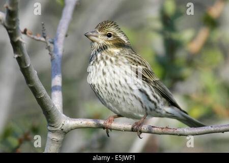 Purple Finch - Carpodacus purpureus - Adult female