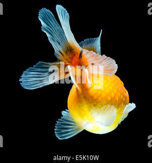 Pearlscale Goldfish Isolated On Black High Quality Studio Shot Manually Removed From Background So The Finnage Is - Stock Photo