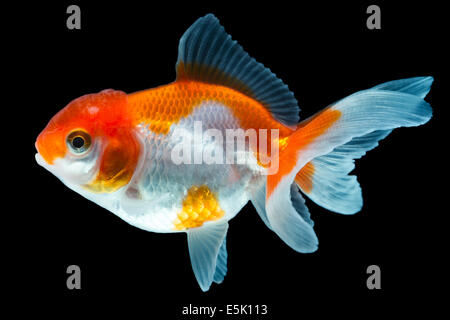 Oranda Goldfish Isolated On Black High Quality Studio Shot Manually Removed From Background So The Finnage Is Complete - Stock Photo
