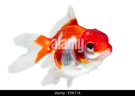 Oranda Goldfish Isolated On White High Quality Studio Shot Manually Removed From Background So The Finnage Is Complete - Stock Photo