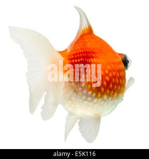 Pearlscale Goldfish Isolated On White High Quality Studio Shot Manually Removed From Background So The Finnage Is - Stock Photo