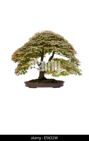 japanese maple acer palmatum deshojo bonsai tree isolated - Stock Photo