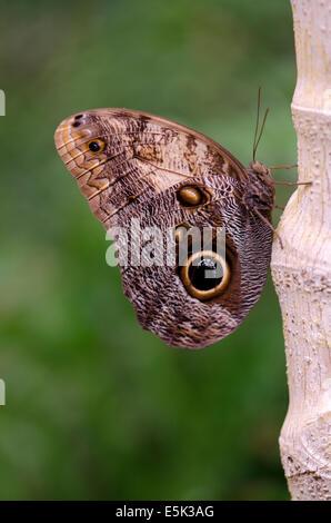 Yellow-edged Giant Owl, Caligo atreus, Inside the Butterfly Park, Benalmadena, Spain. - Stock Photo