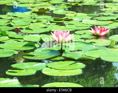 Lotus flower plants in the water. Natural background - Stock Photo