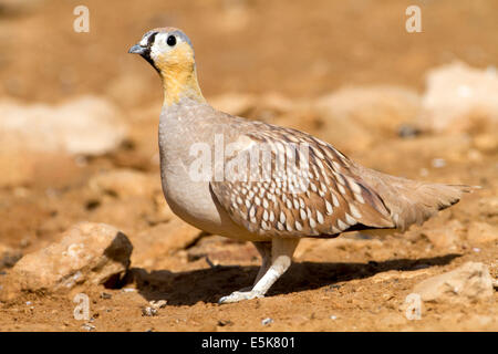 Male Crowned Sandgrouse (Pterocles coronatus) Photographed in the desert, negev, israel - Stock Photo