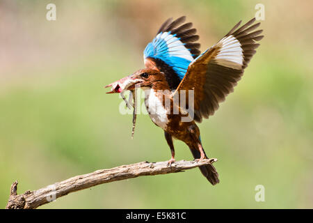 White-throated Kingfisher (Halcyon smyrnensis) with a lizard in its beak, Photographed in Israel - Stock Photo