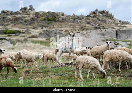 Goats and sheep grazing - Stock Photo