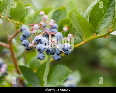 Northern Highbush Blueberries on the Bush. A cluster of fresh ripe and green unripe blueberries hanging on a bush - Stock Photo