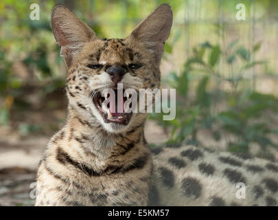 Captive African Serval Cat at Forest Animal Rescue, Ocala, Florida USA - Stock Photo