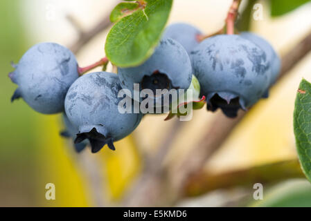 Northern Highbush Blueberries on the Bush. A cluster of fresh ripe blueberries hanging on a bush ready for harvest. - Stock Photo