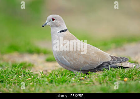 Eurasian Collared Dove (Streptopelia decaocto), North Rhine-Westphalia, Germany - Stock Photo
