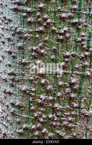 The spiny bark of chorisia speciosa (floss silk tree, false kapok tree) - Stock Photo