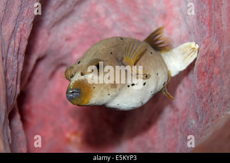 Blackspotted Puffer or Dog-faced Puffer (Arothron nigropunctatus), Great Barrier Reef, UNESCO World Natural Heritage - Stock Photo