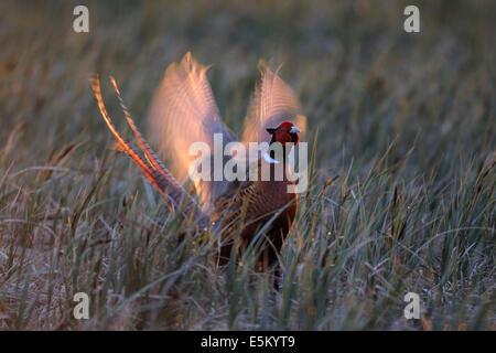 Common Pheasant (Phasianus colchicus), displaying in the morning light, Burgenland, Austria - Stock Photo