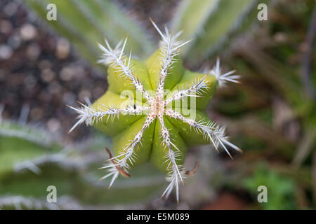 Mexican Giant Cactus or Cardón (Pachycereus pringlei) native to North America - Stock Photo