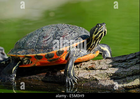 Florida Red-bellied Turtle, Florida Red-bellied Cooter or Florida Redbelly Turtle (Chrysemys nelsoni, Pseudemys - Stock Photo