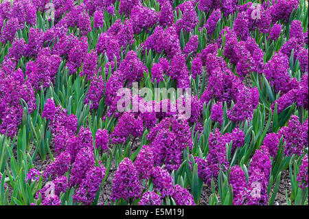 Hidcote Manor Garden, Gloucestershire, UK, made by Lawrence Johnston in the early 20c. Hyacinths - Stock Photo