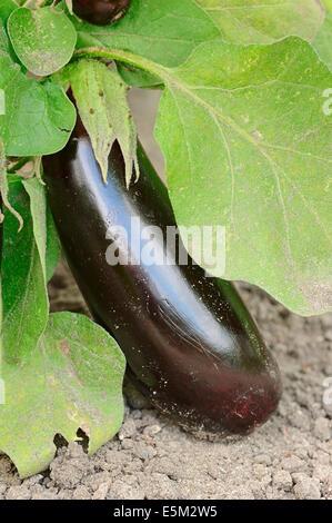 Eggplant, Aubergine or Garden Egg (Solanum melongena), fruit - Stock Photo
