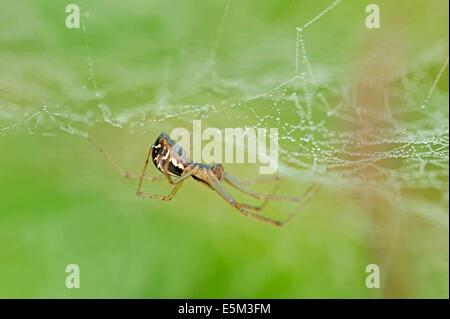 Sheet-Web Spider or Money Spider (Linyphia triangularis), North Rhine-Westphalia, Germany - Stock Photo