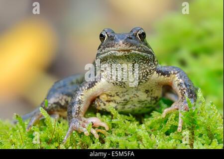 Common European Frog (Rana temporaria), North Rhine-Westphalia, Germany - Stock Photo