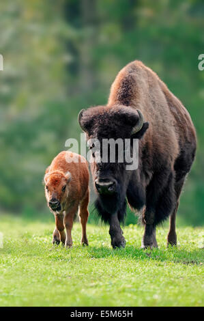 American Bison or American Buffalo (Bison bison), cow with calf - Stock Photo