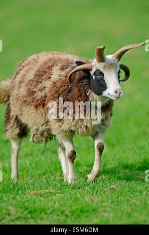 Jacob Sheep or Jacob's Sheep (Ovis ammon f. aries) - Stock Photo