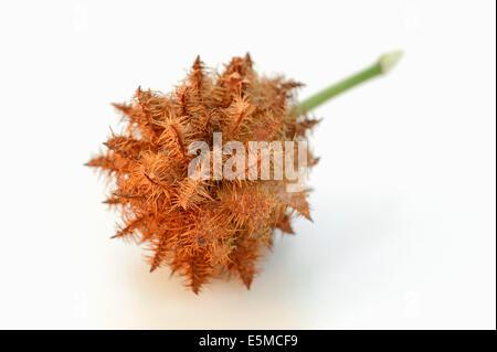Common Liquorice (Glycyrrhiza glabra, Glycyrrhiza officinalis, Glycyrrhiza hirsuta, Liquiritia officinalis), fruit - Stock Photo