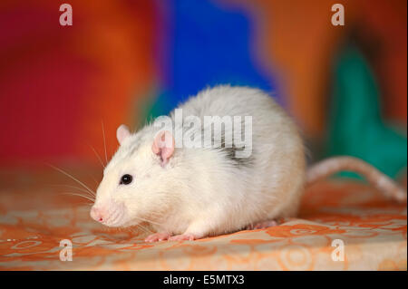 Domestic Rat or Fancy Rat (Rattus novegicus forma domestica), male - Stock Photo