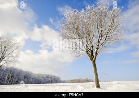 Pedunculate Oak (Quercus robur, Quercus pedunculata) in winter, North Rhine-Westphalia, Germany - Stock Photo