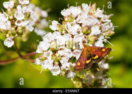 Mint moth (Pyrausta aurata) on marjoram plant - Stock Photo