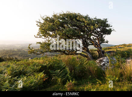 Common Hawthorn Tree Crataegus monogyna Shaped by the Prevailing Wind on Bodmin Moor Cornwall UK - Stock Photo