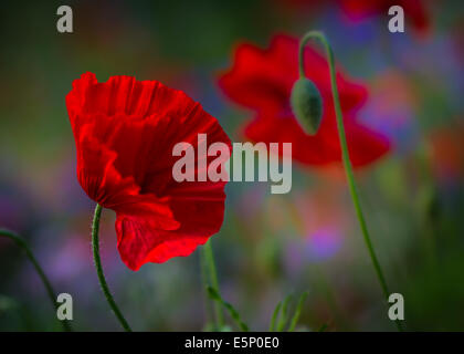 Red poppies in a wild flower meadow - Stock Photo