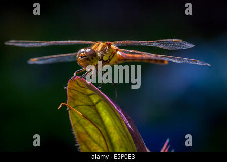 Common Darter Dragonfly looking into the camera - Stock Photo
