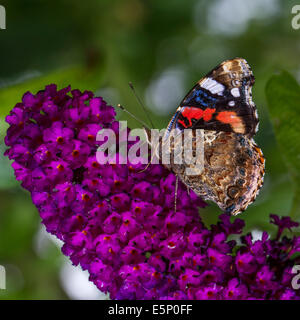 Red Admiral (Vanessa atalanta) butterfly on summer lilac (Buddleja davidii / Buddleia davidii) in flower - Stock Photo