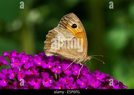 Meadow Brown (Maniola jurtina) on summer lilac (Buddleja davidii / Buddleia davidii) in flower - Stock Photo